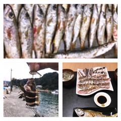 釣り/フード/グルメ/刺身/お吸い物/塩焼き クロムツ50匹とマハタにカマス♫ ぜーー…