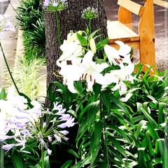 街路樹の花/グルメ/スイーツ/おでかけ 駅迄の道の 花達と 手作りベンチ 最近 …
