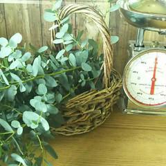 ユーカリ/季節の庭 ユーカリ剪定してみました🌱