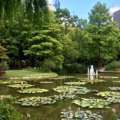 蓮の花/おでかけ/風景/ブルー 蓮の花を見に行ってきました🚗💤 水辺の花…(2枚目)