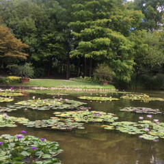 蓮の花/おでかけ/風景/ブルー 蓮の花を見に行ってきました🚗💤 水辺の花…(4枚目)