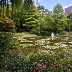 蓮の花/おでかけ/風景/ブルー 蓮の花を見に行ってきました🚗💤 水辺の花…