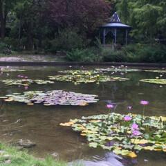 蓮の花/おでかけ/風景/ブルー 蓮の花を見に行ってきました🚗💤 水辺の花…(6枚目)