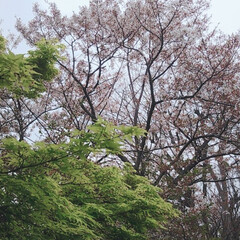 春のフォト投稿キャンペーン 新緑の紅葉?と、満開の桜のコラボ♪(1枚目)