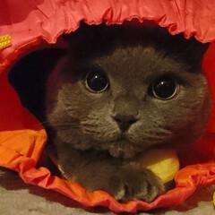 LIMIAペット同好会/ペット/猫/にゃんこ同好会/うちの子ベストショット/ブリティッシュショートヘア/... ママ遊ぼ! るぅたろう、もう真夜中なんで…