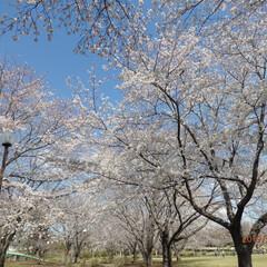 お花見/桜/春の一枚 桜と青空が何とも美しい🌸🌸春っですねっ‼️
