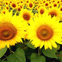 ひまわり 明野のひまわり畑〰🌻一面、黄色のお花が広…