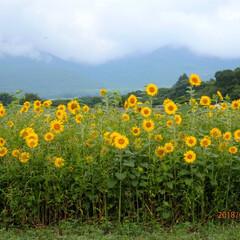 ひまわり畑 旅行先で出会ったひまわり畑🌻やっぱり夏を…