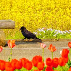 お散歩/菜の花/チューリップ/春のフォト投稿キャンペーン/LIMIAおでかけ部/おでかけ 黒いの目立つね~。 黄色と赤の花に黒はバ…