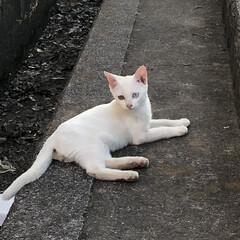 「白猫オッドアイの仔猫見つけましたぁ~♬.…」(1枚目)