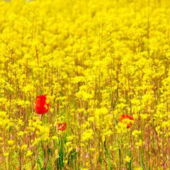 春のフォト投稿キャンペーン/おでかけ/春/菜の花/チューリップ 菜の花畑に赤いチューリップがかくれんぼ!…
