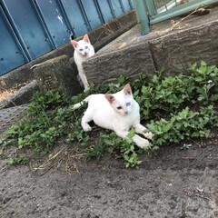 「白猫オッドアイの仔猫見つけましたぁ~♬.…」(2枚目)