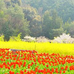 桜/菜の花/チューリップ/花/春のフォト投稿キャンペーン/LIMIAおでかけ部/... 日曜日にフラワーパークに行きました。 手…