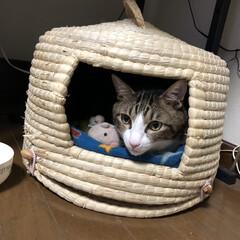 猫/コメント大歓迎/猫派/フォロー大歓迎/LIMIAペット同好会/にゃんこ同好会/... 大好きなチグラのお部屋とお人形のイモムー