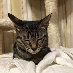 おやすみショット/猫/キジトラ/LIMIAペット同好会/にゃんこ同好会/至福のひととき うちのひなた😸 おやすみショットパート4💦