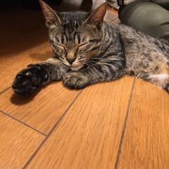 猫/キジトラ/おやすみショット/LIMIAペット同好会/にゃんこ同好会/至福のひととき うちのひなた😸 おやすみショット10連発…