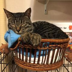 キジトラ/猫/おやすみショット/にゃんこ同好会/至福のひととき うちのひなた😸おやすみショット10連発♡…