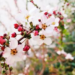 カメラマン気分♪/小さい春/ユキヤナギ  ママ友ん家のユキヤナギが PINKで…
