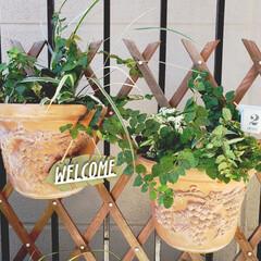 テラコッタの鉢/頂き物/15年物   こちらも15年物のテラコッタ鉢。  …