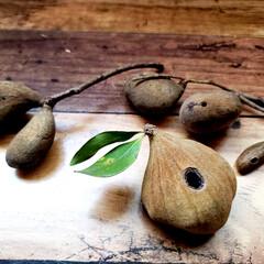 オオヤブシャブシ/名前/木の実  大晦日に拾ってた木の実ゎ📷1枚目~7枚…