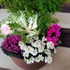 葉牡丹三種/ちりめん葉牡丹/ローズ葉牡丹/クジャク葉牡丹/花キャベツ/宿根イベリス/...  イトスギの寄せ植え、お直し。