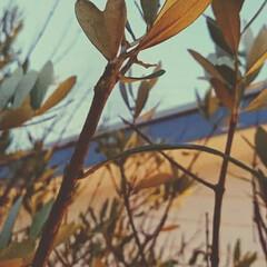ハート/オリーブの木  オリーブにハートの葉を見つけました
