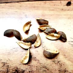 オオヤブシャブシ/名前/木の実  大晦日に拾ってた木の実ゎ📷1枚目~7枚…(5枚目)