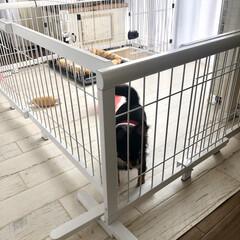 セルフリノベーション/多頭飼い/ロングコートチワワ/チワワ/ペットゲート/クッションフロア/... 我が家はチワワ2匹飼っています。  昨年…(2枚目)