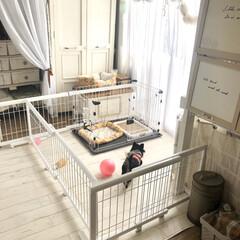 セルフリノベーション/多頭飼い/ロングコートチワワ/チワワ/ペットゲート/クッションフロア/... 我が家はチワワ2匹飼っています。  昨年…