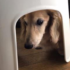 老犬と暮らす 風呂の椅子の下に入るウチのじいちゃんワン…