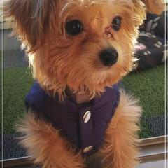 子犬/MIX犬/チワプー もーすぐお散歩デビューだよ😉