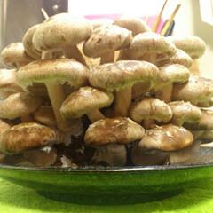 シイタケ栽培キット(椎茸)を使ったクチコミ「きのこの栽培キット。いっぱい育ちました!…」