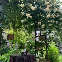 薔薇/フォロー大歓迎/LIMIAおでかけ部/おでかけ/住まい/LIMIA 先日行った実家の薔薇がだいぶ咲きはじめて…