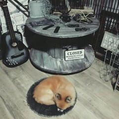 ダイソー/シンデレラフィット/犬/ペット/チワワ わが家のチワワくんです☆ ダイソーの丸型…(1枚目)
