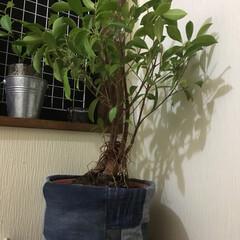 ガジュマル/観葉植物/ジーンズ/リメイク/インテリア 履かないジーンズをリメイクし、鉢植えカバ…