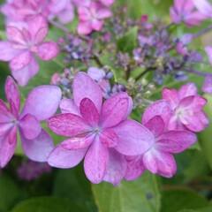 ガクアジサイ/見頃/梅雨/宝石/梅雨のたのしみ 紫陽花の種類は以外に豊富で、 また土によ…