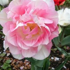 チューリップ/八重/バラ/牡丹/春/花 春は花が沢山見られるので大好きな季節です…