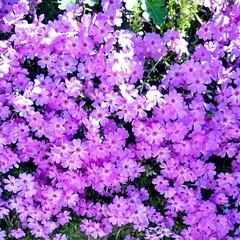 春/小さな花/紫/可愛い 小さい頃は花の色と言ったら赤、黄色、白、…