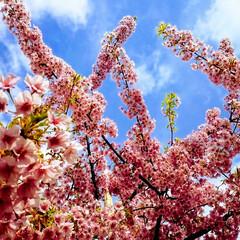 桜/満開/青空/良い日 今日も良いお天気ですね! お散歩コースの…