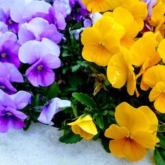 春/花/パンジー 春は桜以外にも沢山の綺麗な花が咲き乱れま…