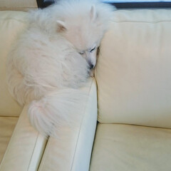 日本スピッツ/うたた寝/お昼寝/ソファ うちのわんこは器用な寝かたをします… ソ…