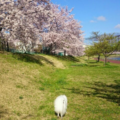 桜/満開/散歩/季節 桜が満開!お天気の良い日の散歩は本当に気…