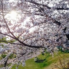 桜/満開/散歩/雨 桜もまだまだ満開です。 もうしばらく綺麗…