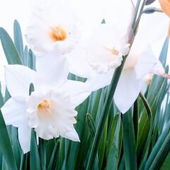 春/花/スイセン/幸せ スイセンも綺麗に咲いてます。 わんことの…