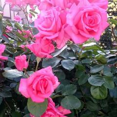 バラ/見頃/散歩/時期 庭には数十種類のバラ。 花の咲く時期も少…