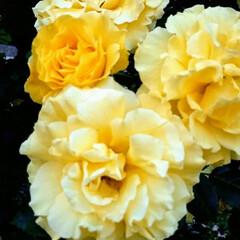 黄色/バラ/美しい/見頃 黄色いバラも良いですね! 花言葉には「嫉…