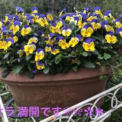 園芸/ビオラ/鉢植え 春ですねぇ