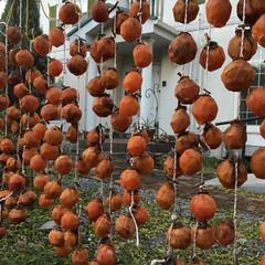 いつまでも元気で/干し柿/秋 父が一生懸命皮をむきました。 来年もこの…