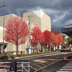 街路樹/秋 職場に向かう街路樹もすっかり色づきました…