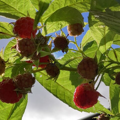 ラズベリー ビンテージ/自宅の庭より おはよう☀ 今朝も朝から蝉がうるさい(笑…(2枚目)